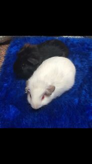 Guineapigs shorthair Females