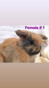 Two Sweet Purebred Holland Lop Bunnies Available