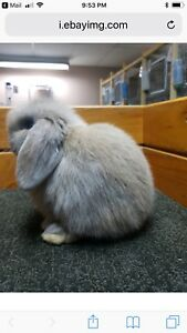 Looking  to buy a bunny that looks like this one
