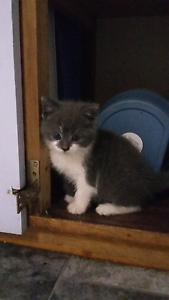Blue & white desexed kitten Sandford Clarence Area Preview