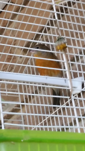 Finches Siskin & goldfinch xcanary mules amazing singers Reservoir Darebin Area Preview