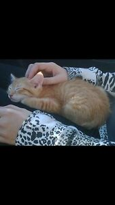 Cuddly Orange Cat looking for a Cuddly Owner Cambridge Kitchener Area image 2