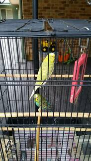Budgies in cage