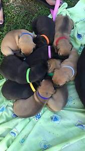Staffy x puppies for sale Berserker Rockhampton City Preview