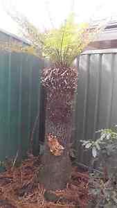 Tree fern Altona Seaholme Hobsons Bay Area Preview