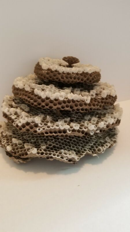 Hornet Nest Core Bee Nest Wasp Nest Bald Faced Yellow Jacket Taxidermy Oddity