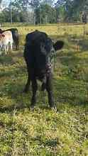 Miniature heifer Ourimbah Wyong Area Preview