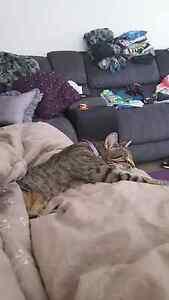 Free cat to good home Ermington Parramatta Area Preview