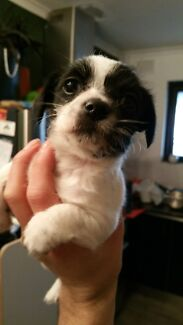 Hairy chinese crested puppy Gawler West Gawler Area Preview