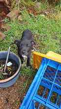 Border Collie x Puppies Fairy Meadow Wollongong Area Preview