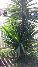 yucca plants Rutherford Maitland Area Preview
