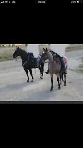 Geldings available for part board