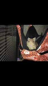 Degus with critter nation cage