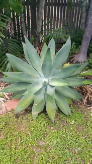 Large Agava Plants