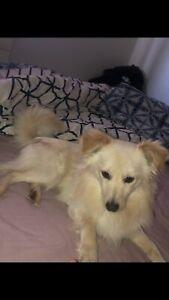 Pom , Maltese x puppy