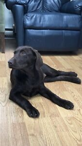 Chocolate Labrador 4 month old - pending!