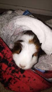Ginny pig girl