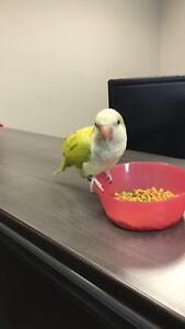 Quaker Parrot in need of loving home