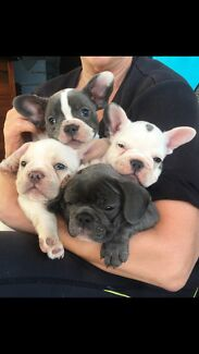 French Bulldog Puppies READY NOW!