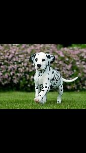 WANTED DALMATIAN PUP Warwick Farm Liverpool Area Preview