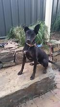 Free 6mth Staffy x to good home Mount Barker Mount Barker Area Preview