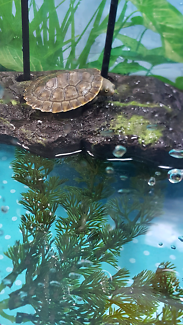 Short neck Turtle