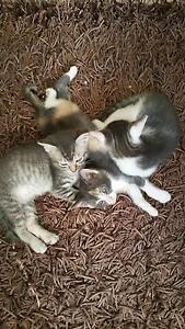 Kittens for sale Maitland Maitland Area Preview