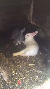 Rabbits 11wks old Wanneroo Wanneroo Area Preview