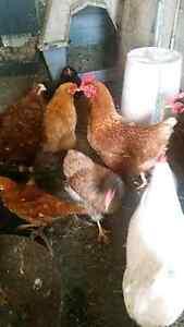 Hi mix chicken Thomastown Whittlesea Area Preview