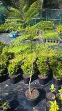 Jacaranda Mimisofolia Trees Oakville Hawkesbury Area Preview