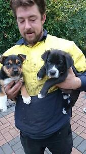 2 male staffy X pups for sale Albany Albany Area Preview