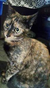 beautiful tortoiseshell f to good home - not fixed