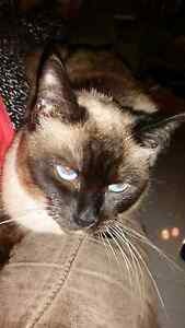 Purebred Ragdoll Female Cat Aberglasslyn Maitland Area Preview