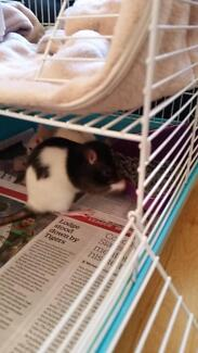 Two Cute Female Pet Rats for Adoption Randwick Eastern Suburbs Preview