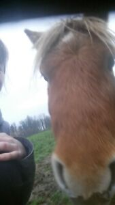 MINIATURE AND SHETLAND PONIES FOR SALE