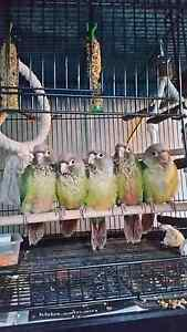 Hand Raised Pineapple Conures Elanora Gold Coast South Preview
