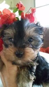 Yorshire Terrier pure bred puppies