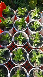 Mini succulents Bidwill Blacktown Area Preview
