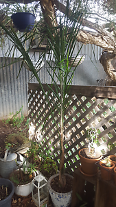 Almost 6ft cocos palm tree in heavy cement pot. Para Hills Salisbury Area Preview