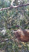 lost ALEXANDRINE parrot Semaphore Port Adelaide Area Preview