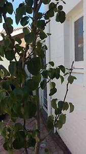 Ornamental pear tree Lockleys West Torrens Area Preview