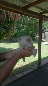 Ragdoll kittens Avenell Heights Bundaberg City Preview
