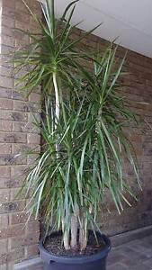 One pot established Dracaena Marginata plants *Healthy* Shelley Canning Area Preview