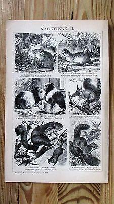 Druck, Bild, Antiquität, Nager, Biber, Maus, Hase, Stachelschwein, Eichhörnchen