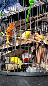 Finches canaries bargain sale $10-$15 only Reservoir Darebin Area Preview
