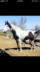 Medicine hat paint gelding for sale!