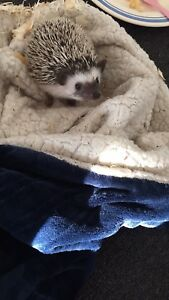 Young Hedgehog!
