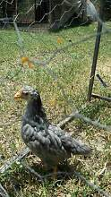 PUREBRED PULLETS(GIRLS) Tallegalla Ipswich City Preview