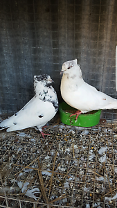 Iranian pigeons for sale Dallas Hume Area Preview