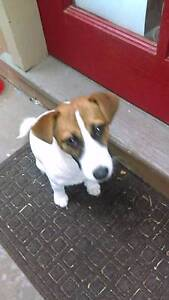 Jack Russrll puppy Katoomba Blue Mountains Preview